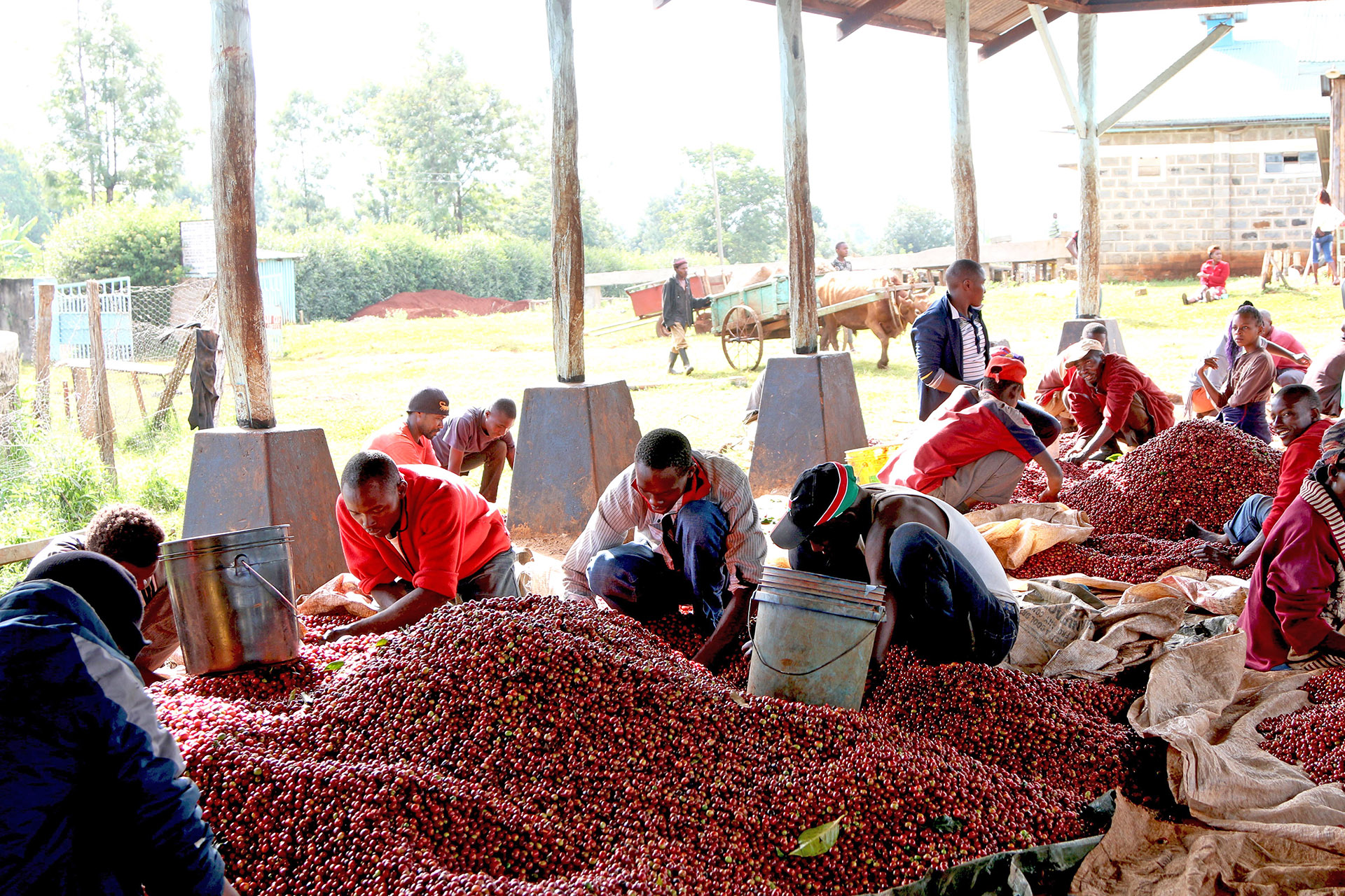 Kenyan Coffee Beans For Trade Members