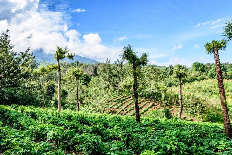 Mexican Coffee Farmland Huatusco area in Mexico